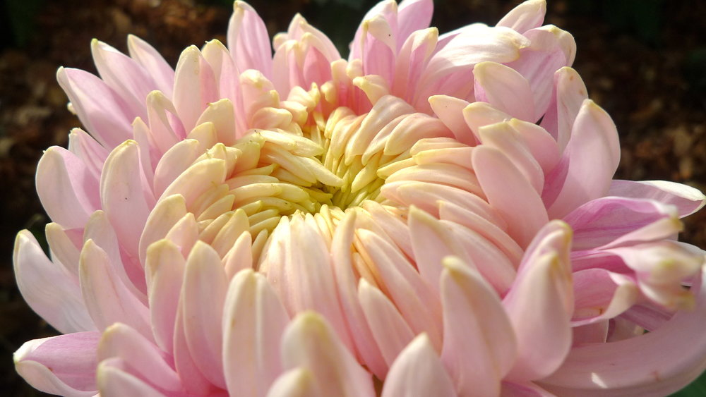 Avoid giving chrysanthemums to Chinese friends