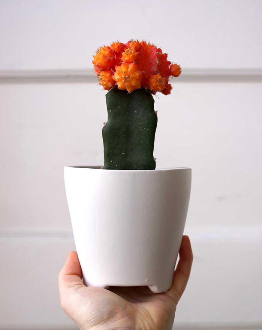 moon cactus white.jpg