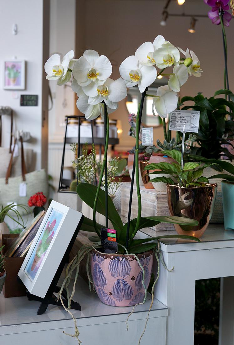 moth orchid 1.jpg