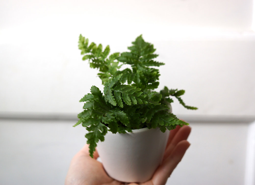 tiny fern 1.jpg