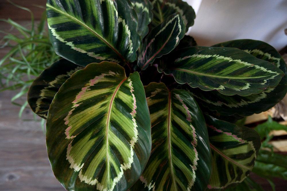 calathea leaf.jpg