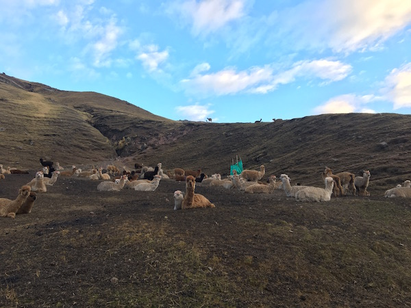 Llamas on hike to Rainbow Mountains Peru