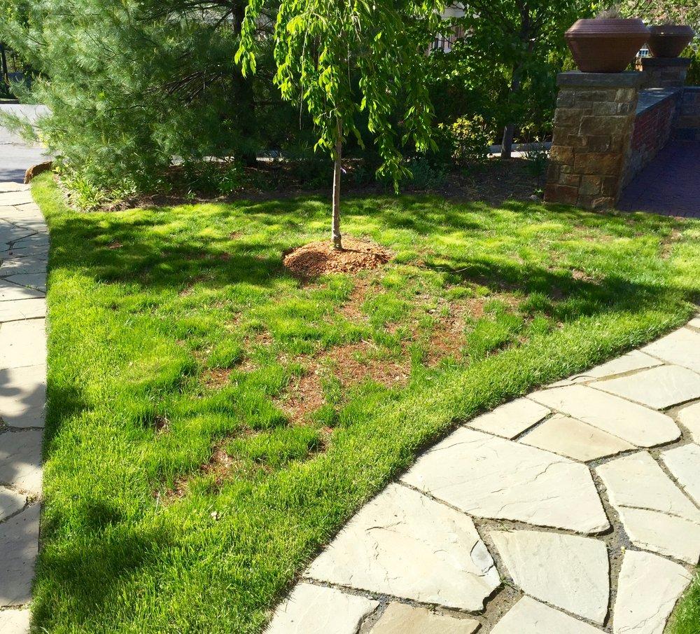 An installation replacing lawn with a perennial garden