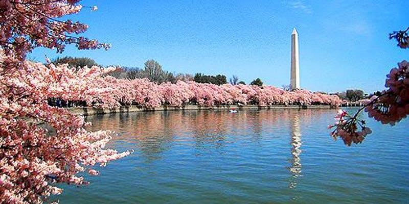 cherry-blossoms.jpeg