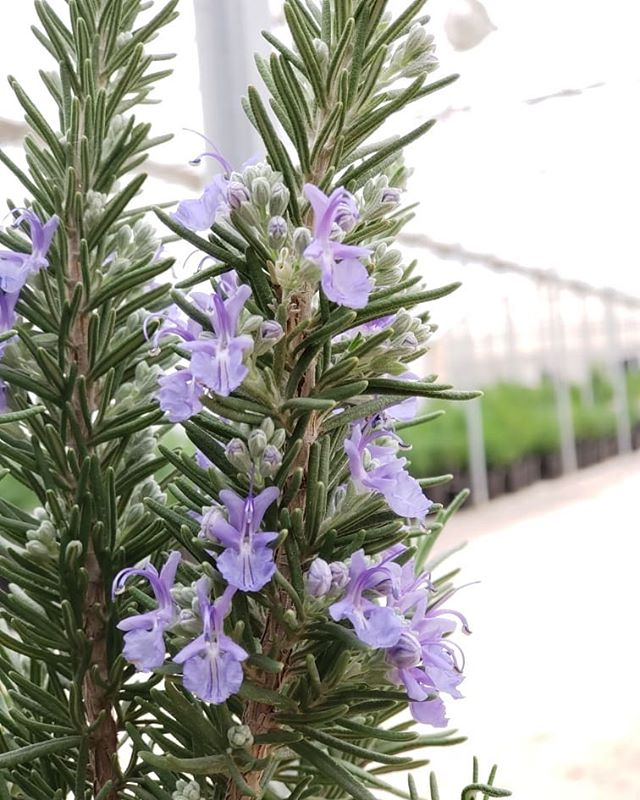 Rosemary! #growyearround #greenhouse #herbs #rosemary