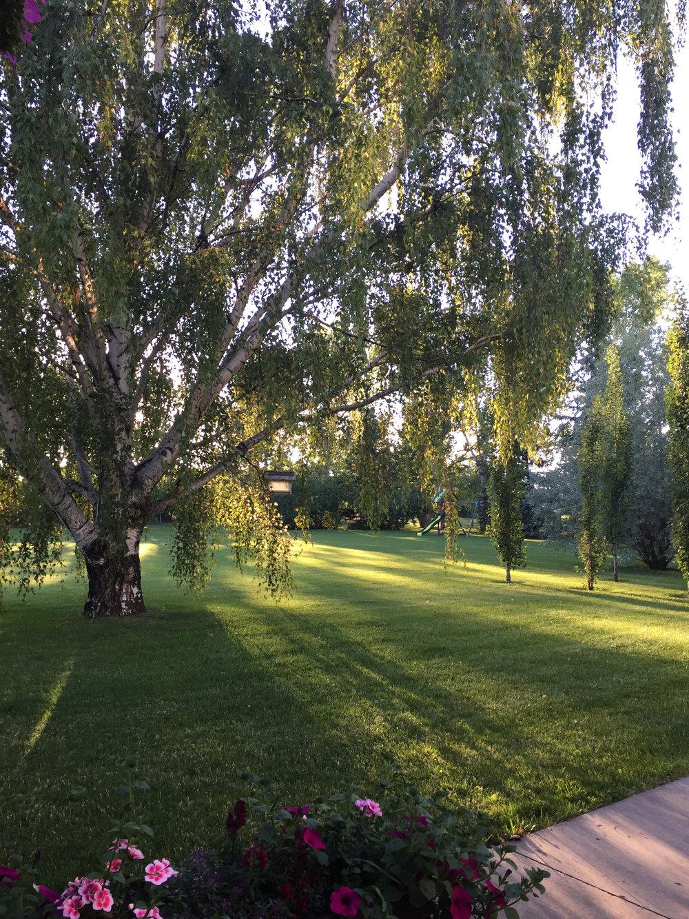 Light shining through a willow tree