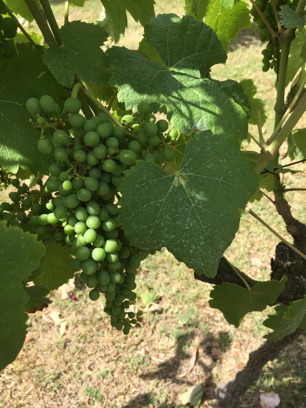 Tannat and its large leaves