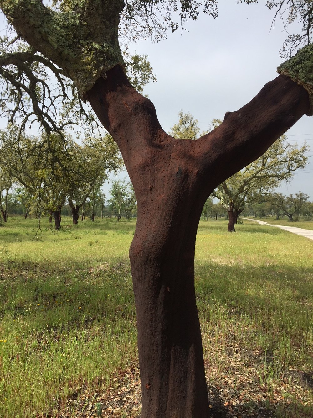 cork tree harvested in 2017