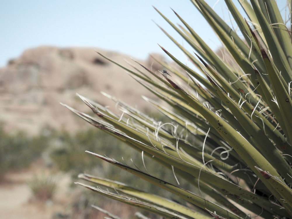 Joshua Tree National Park is an other-worldy area of desert in California. With stunning rock formations and unique trees and plants, it's filled with amazing hiking trails and scenic views. #nationalpark #joshuatree #california #hiking