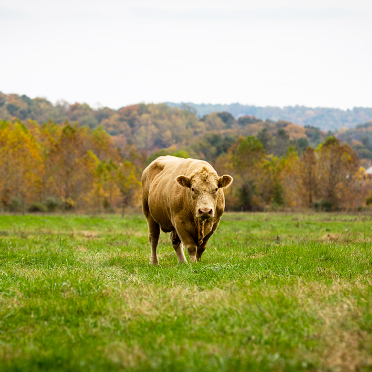 Inn-Mt-Vernon-Farm-Cow-sq.jpg