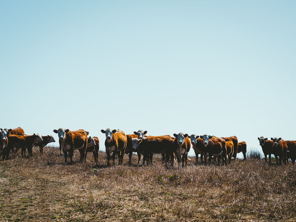 Cattle-Cookwilltravel-Huckberry-Jenner.jpg