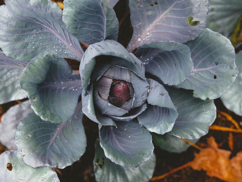 Cabbage-Cookwilltravel-Huckberry.jpg