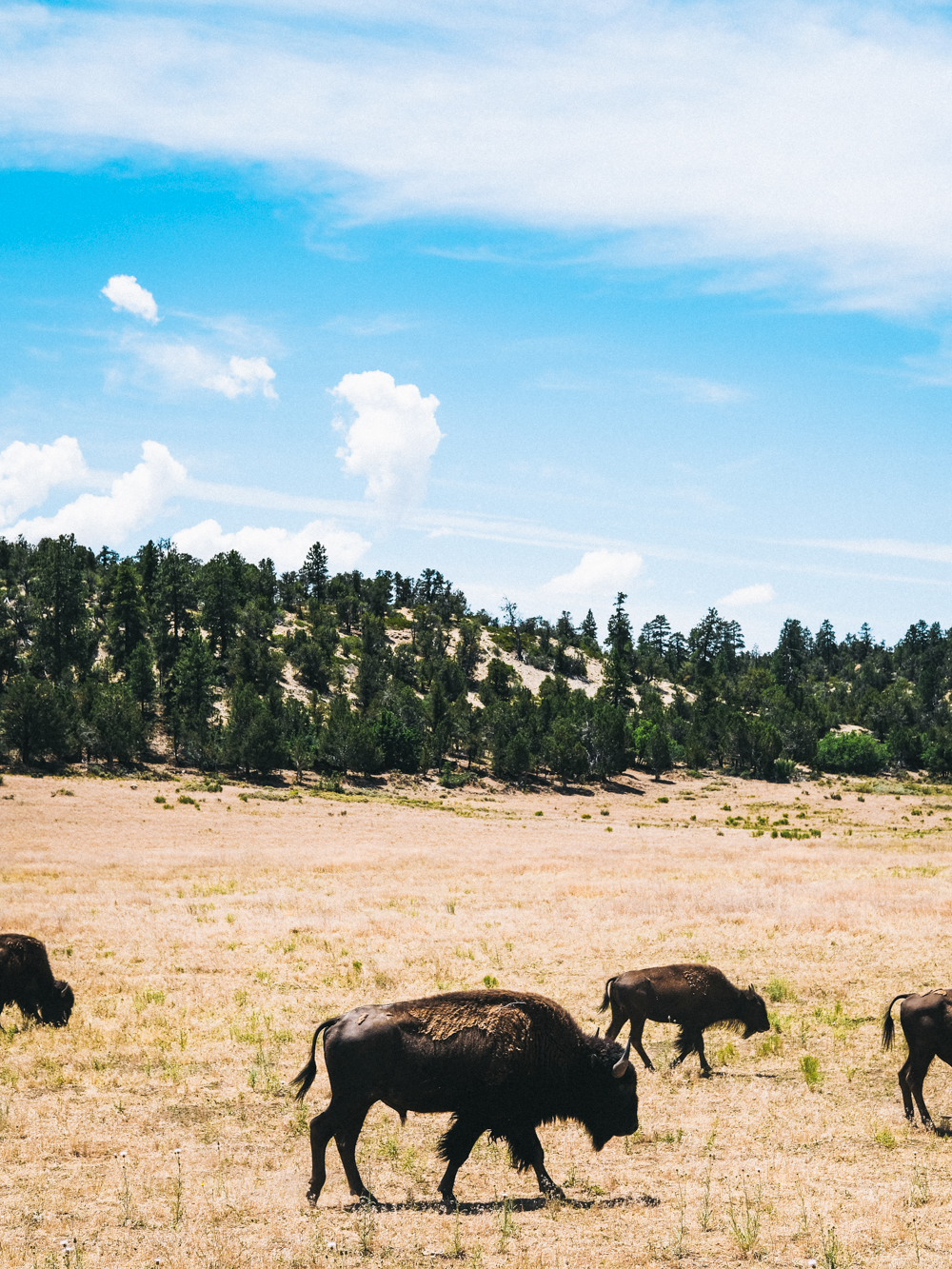 Bison-Cookwilltravel-Road_Trip.jpg
