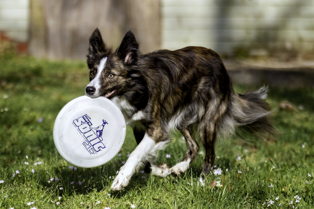 Dog with Disc