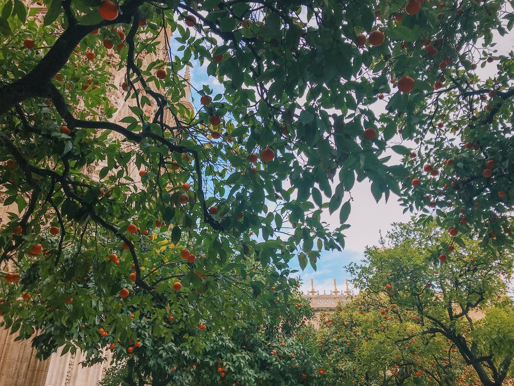 Orange trees in the Cathedral courtyard.
