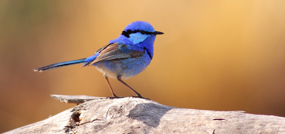 Splendid Fairy-wren. Photo by Andrew Silcocks