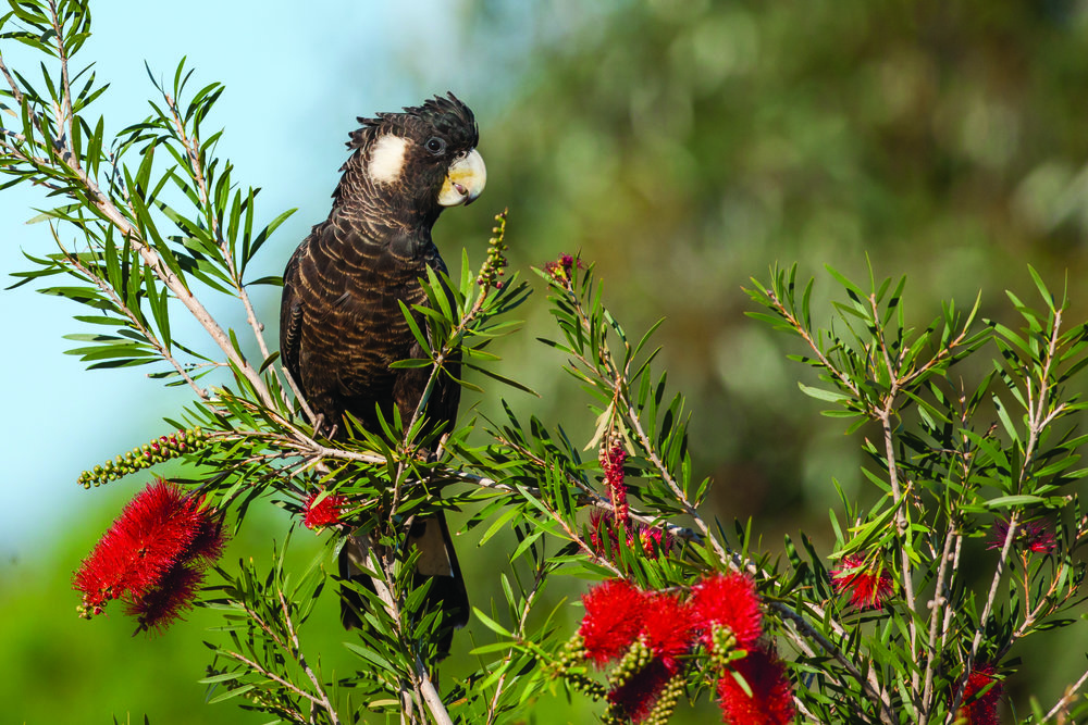Carnaby's Black-Cockatoo. Photo by Georgina Steytler
