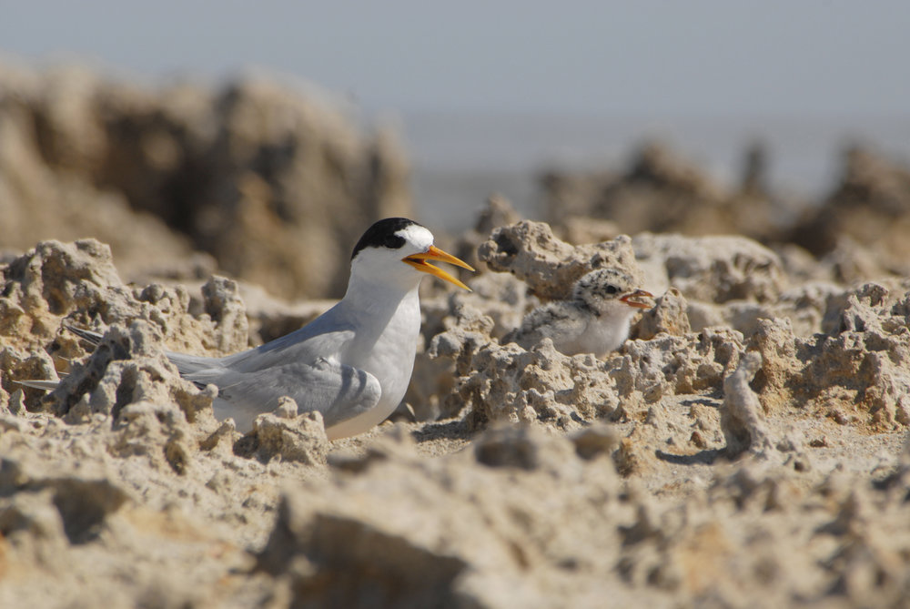 Fairy Tern & chick. Photo by LJP