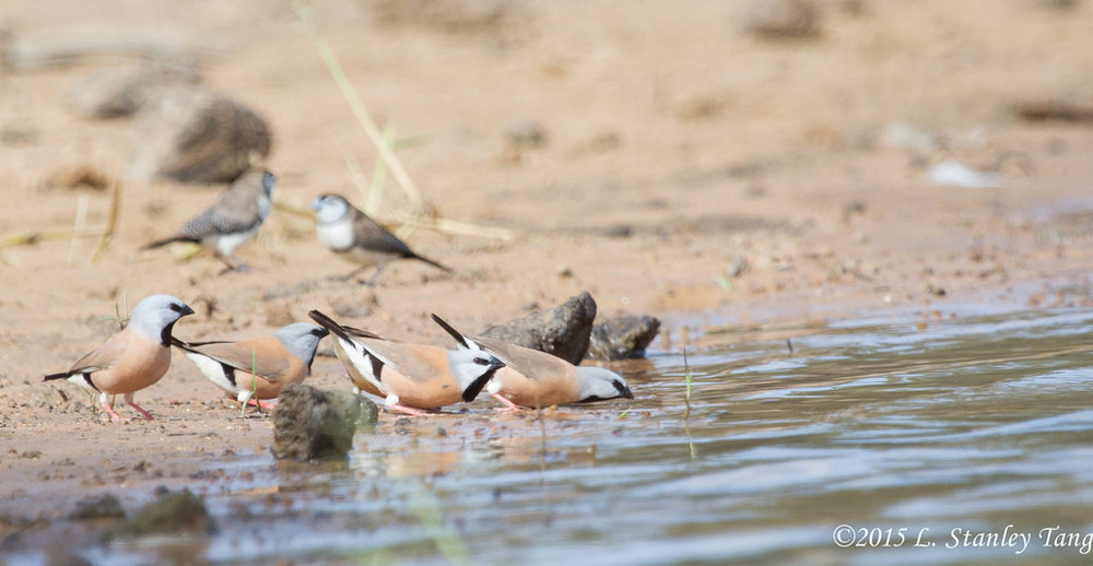 Black-throated Finch. Photo by L. Stanley Tang