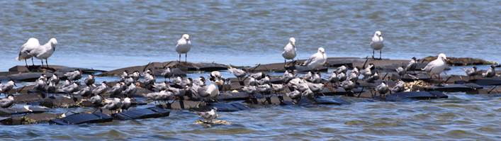 Crested and Whiskered tern, and Silver Gull on the Little River roost. Note the individual at the front on a natural floating roost created by a temporary mass Ulva bloom.