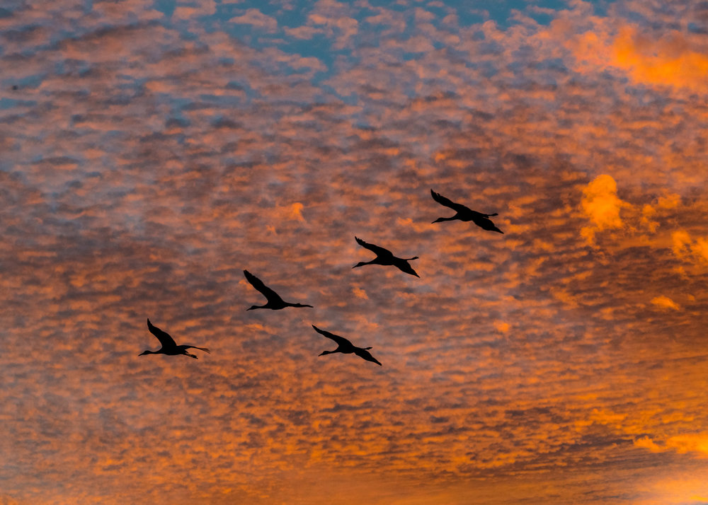 sandhill cranes and sunset