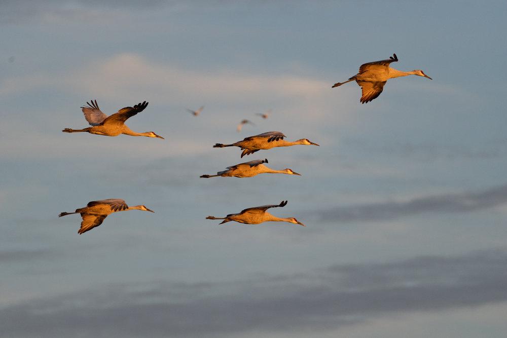 sandhill cranes flight formation