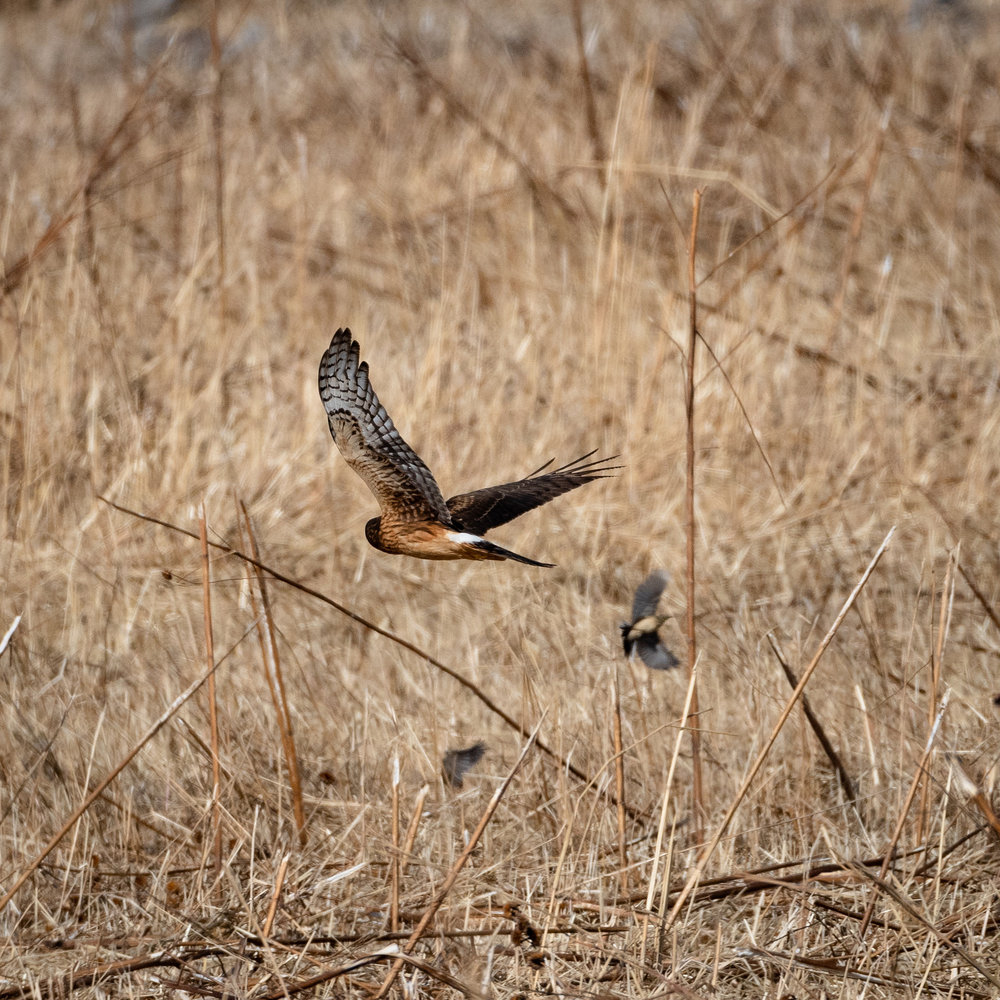 Northern Harrier Hawk and small bird