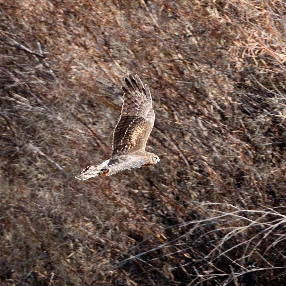 Northern Harrier Hawk in flight