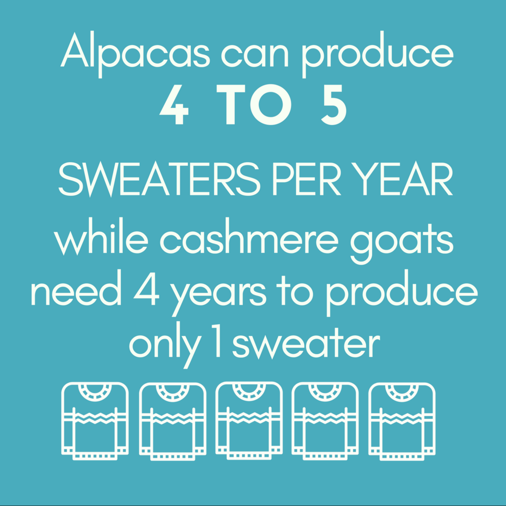 Alpacas can produce 4 TO 5 SWEATERS PER YEAR while cashmere goats need 4 years to produce only 1 sweater