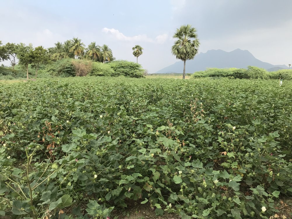 Copy of Copy of Organic cotton field