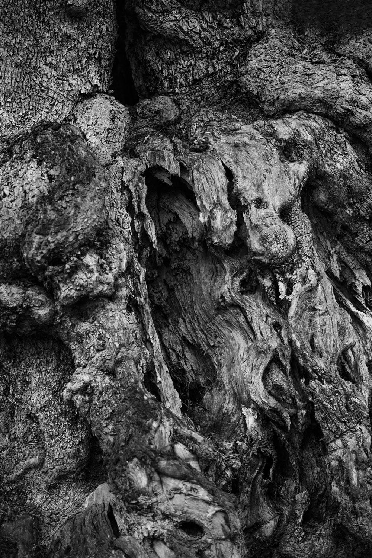 Millenial Rhizome (Olive tree in Puglia)