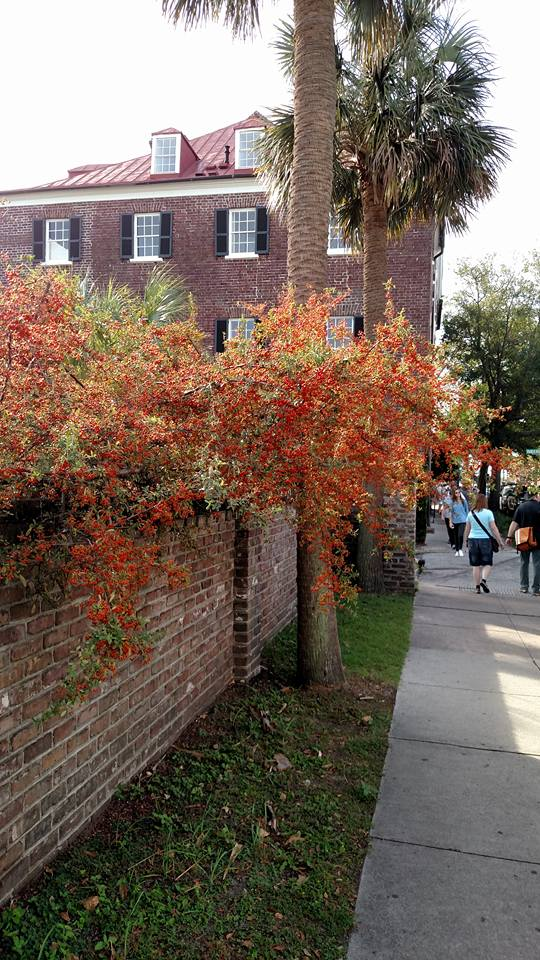 Pyracantha blooms create a stunning fall display in downtown Charleston.