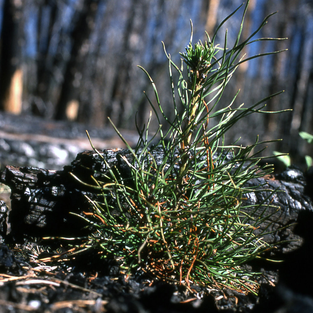 A three-year-old lodgepole pine seedling grows from the ashes. Photo by Don Despain,  U.S. National Park Service  (1977).