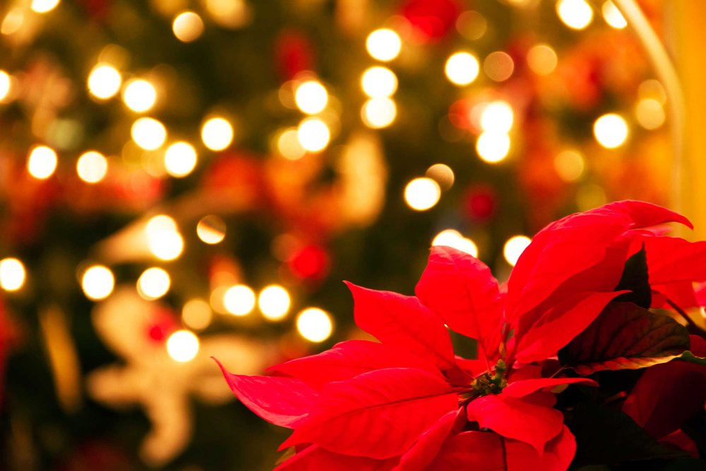 01_this_Why_poinsettias_official_christmas_flower_TuiaDesign.jpg