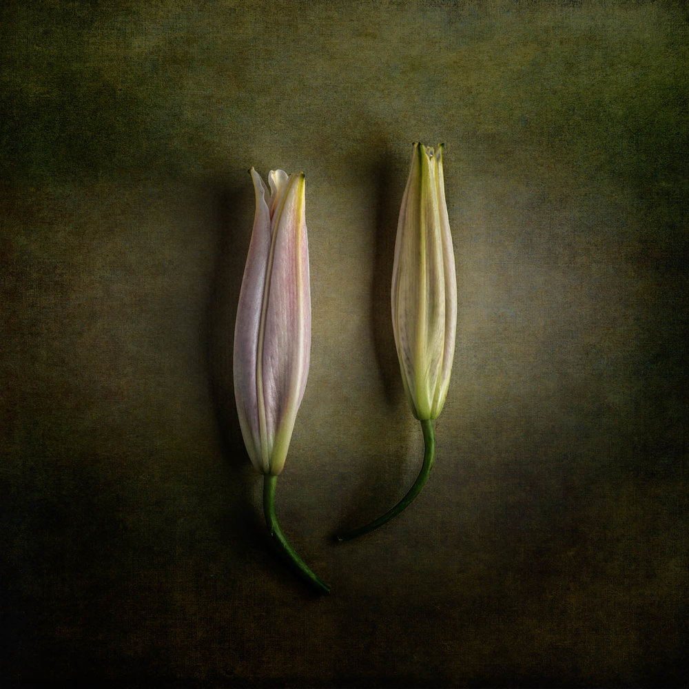 2 Closed Tulips-HDR-2.JPG