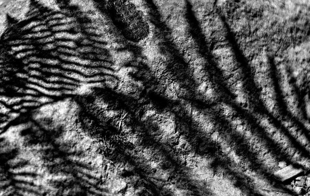 Fern Shadow BW.jpg
