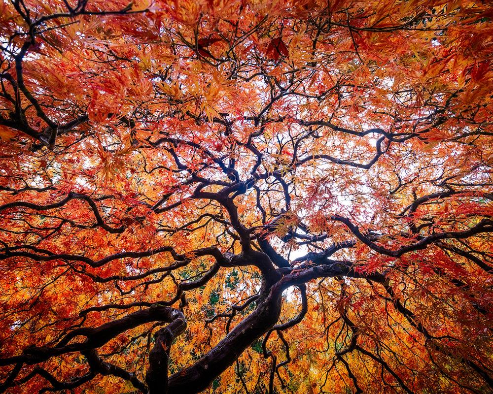 Portland Maple Skyward less saturated.jpg