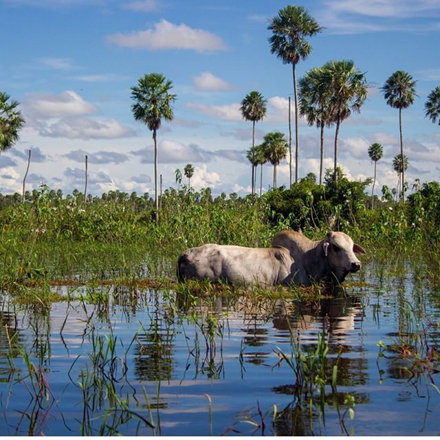 On the Bolivian Pampas, where cows graze in this kind of landscape in rainy season. To me the combination of swamps, palm trees and cows was an eyeopening view: a combination I never new existed @travelgirls @nomadicmatt @natgeotravel #Bolivia #water #surreal #trip #todolistmagazine #naturelover #postcardsfromtheworld #worldtravelbook #travellushes #travelphotography #moment