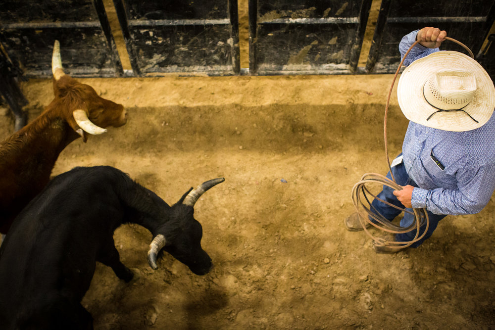 Rodeo staff move the animals along for Chute Dogging, or Steer Wrestling, during the World Gay Rodeo Finals in Las Vegas, NV.