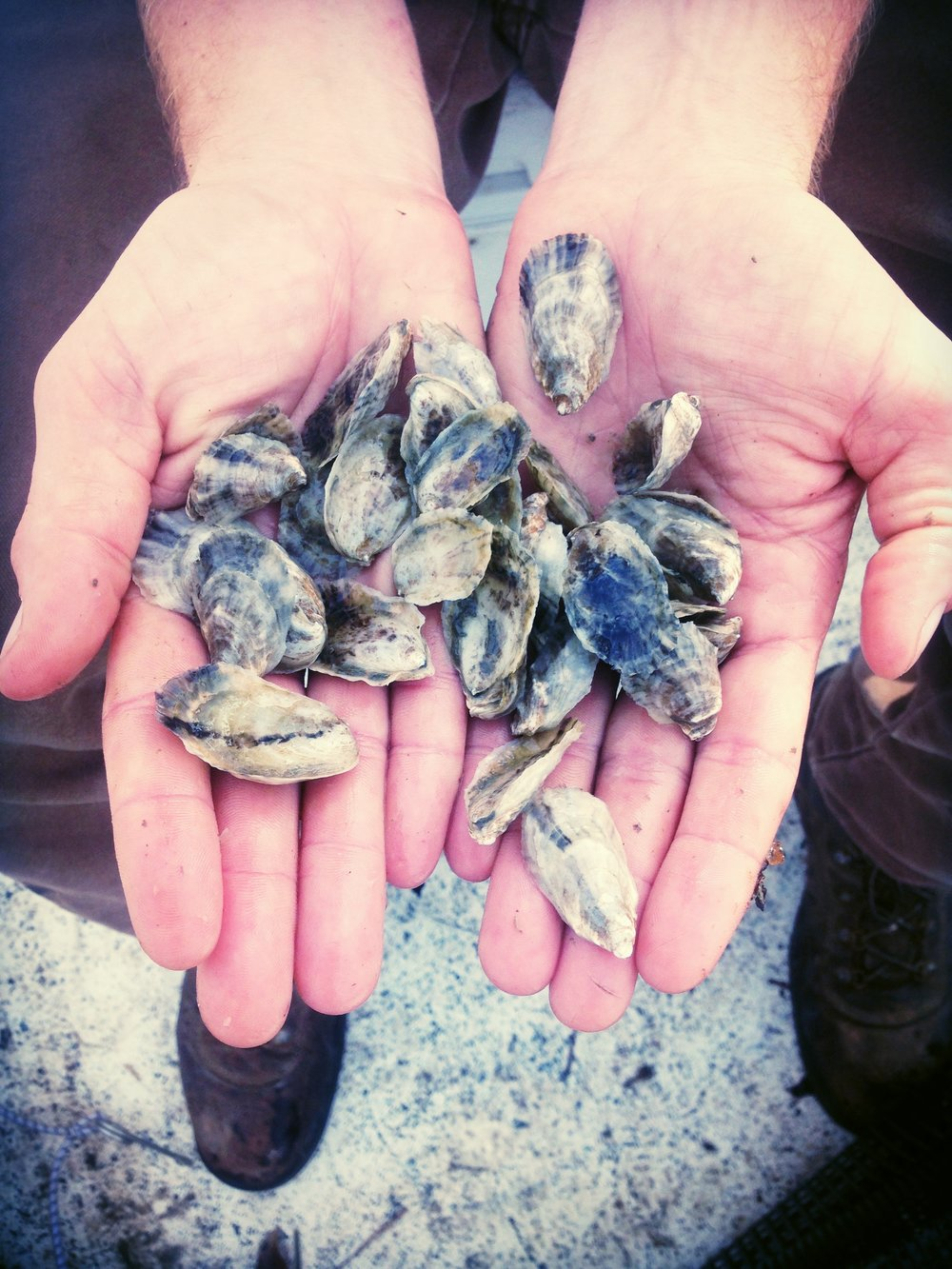 Our first batch of local oysters! These singles are barely 8 months old. Perfect lips and already forming into little cups! Visit our  gallery  to see more!