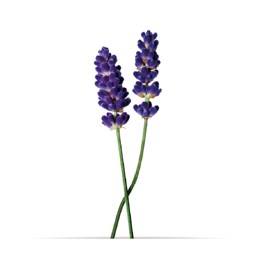 2_oNature_Flower_Lavender.jpg