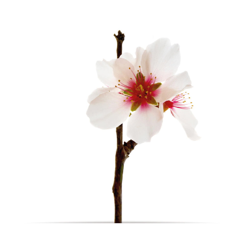 3_oNature_Flower_Almond-Blossom.jpg