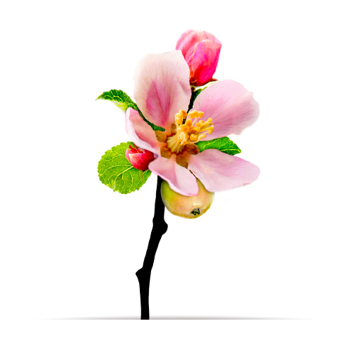 4_oNature_Flower_Apple-Blossom.jpg