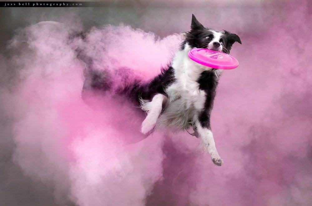 Toronto Dog Photographer Jess Bell Photography - holi sessions