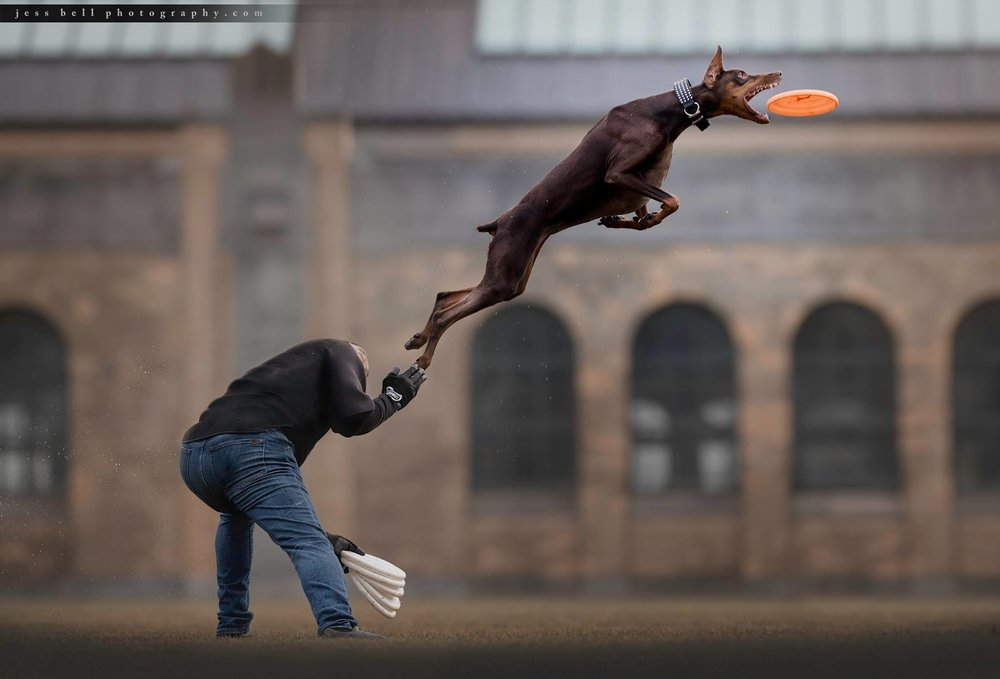 Toronto dogs in action photography, Jess Bell Photography, disc dog
