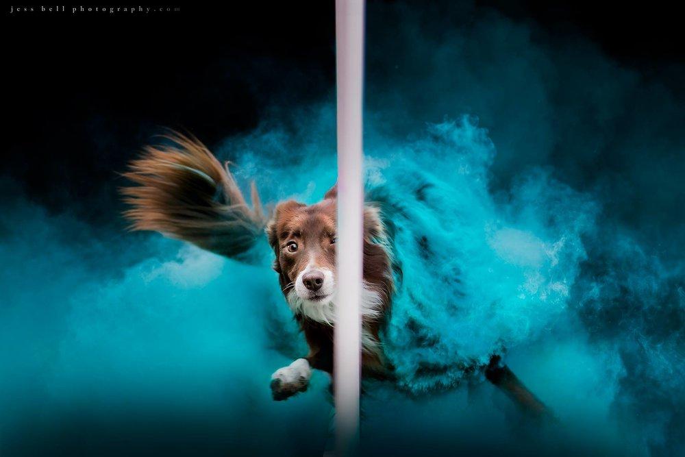 Coloured powder action photography, Toronto Dog Photography