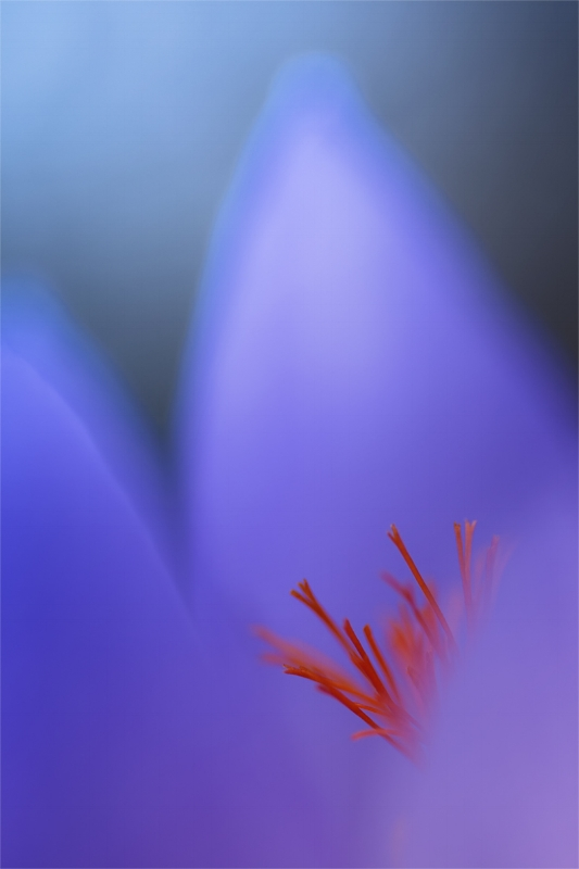 Nature macro photography. Crocus flower.