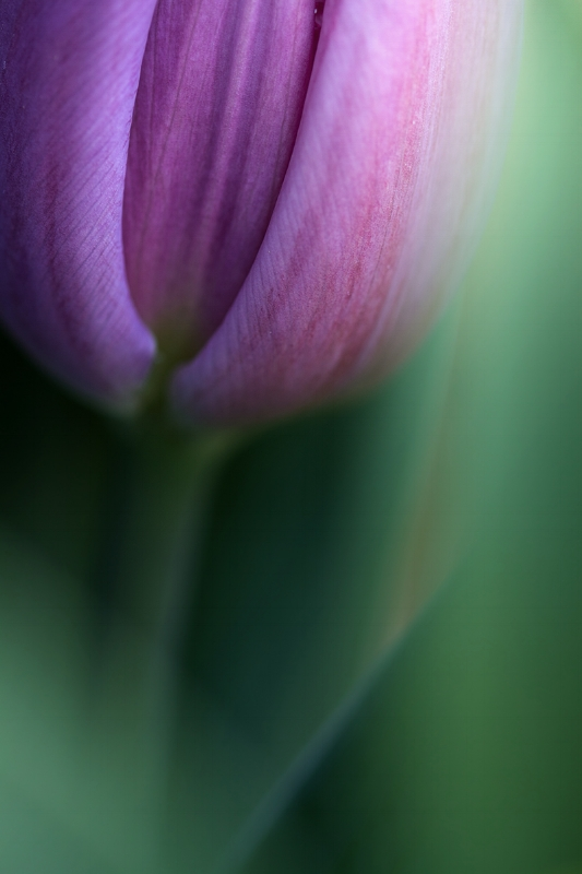 Hidden details of Tulip. Nature macro photography
