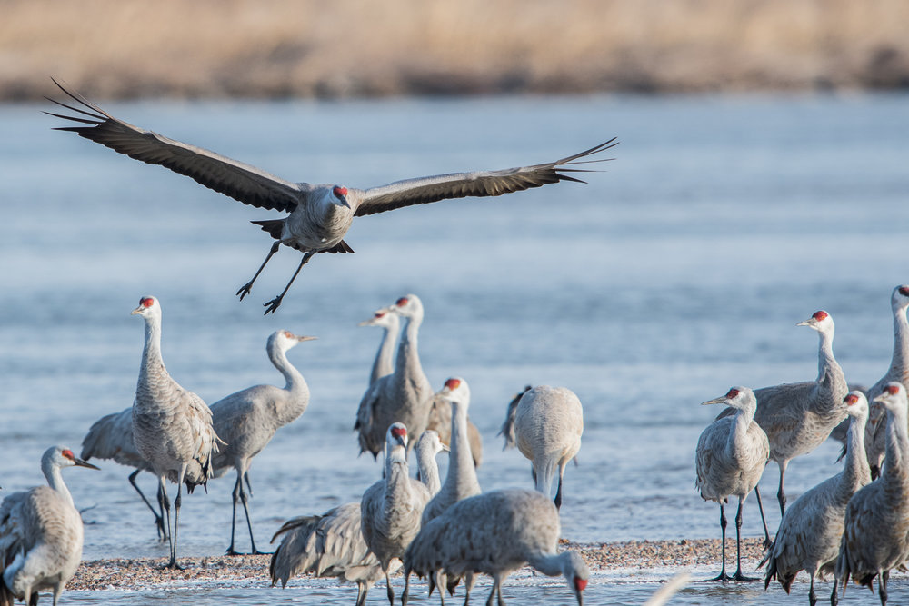 Sandhill Cranes Website_Platte River_2017_03_15_untitled shoot_02303_.jpg