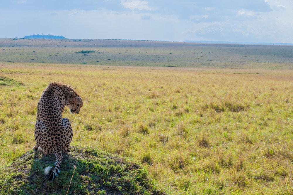 Cheetah_Masai Mara_DSC_0356.jpg